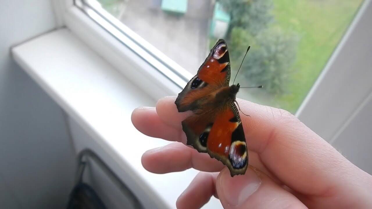 Бабочка залетела в дом или квартиру