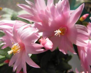 Уход за цветком декабристом