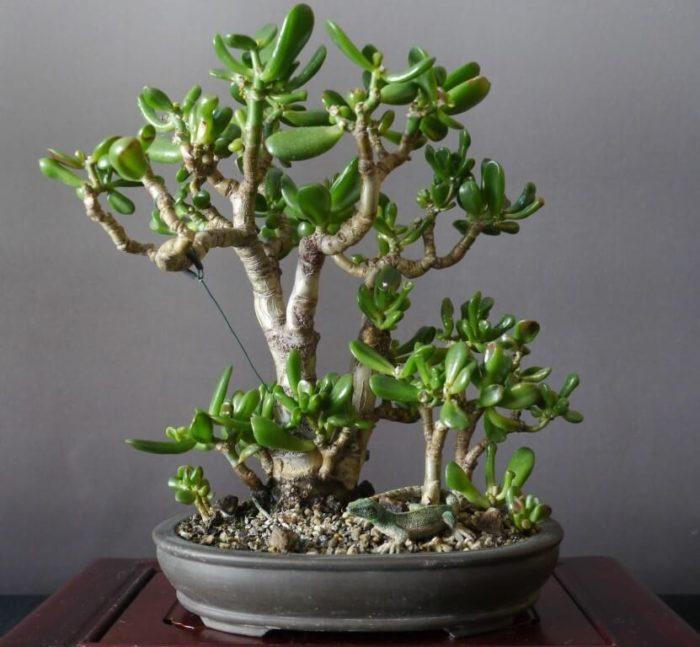 Денежное растение и фэншуй