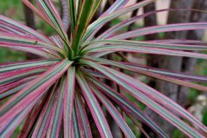 Другие названия растения и легенды о нем