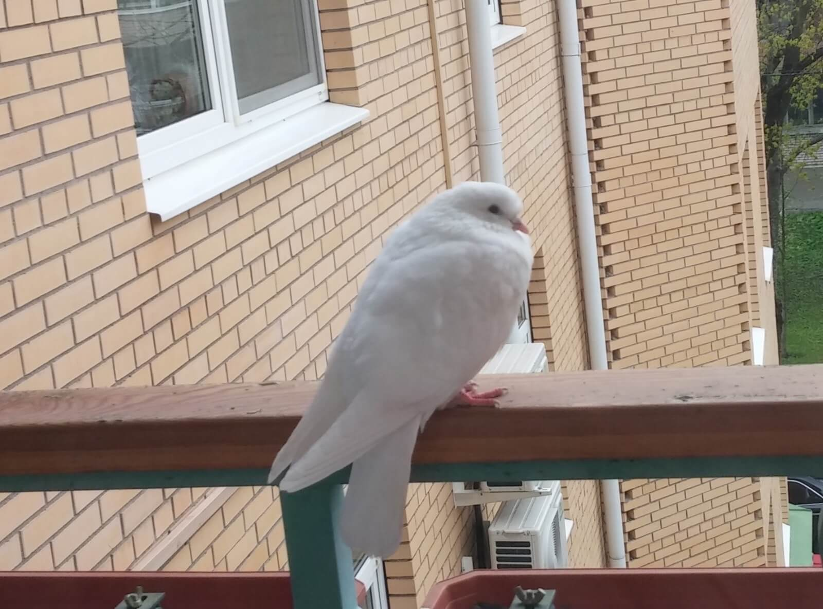 Голубь случайно залетел на балкон