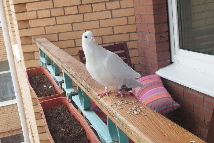 Внешний вид голубя