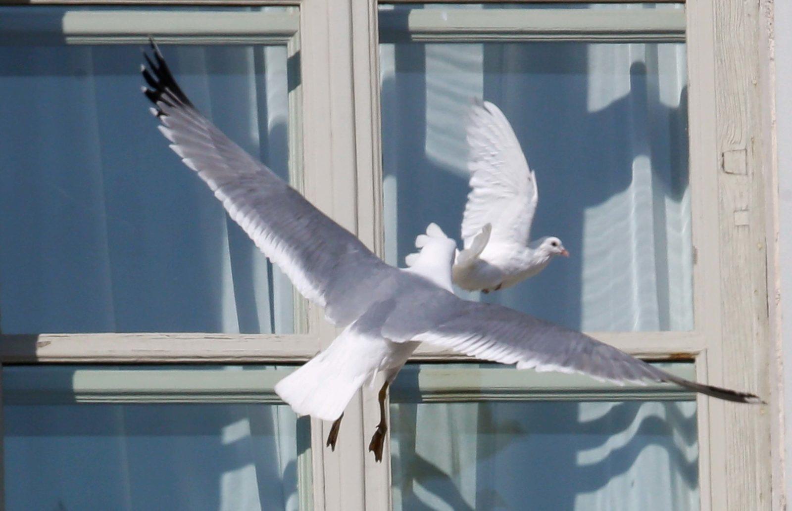 К чему голубь бьется в окно
