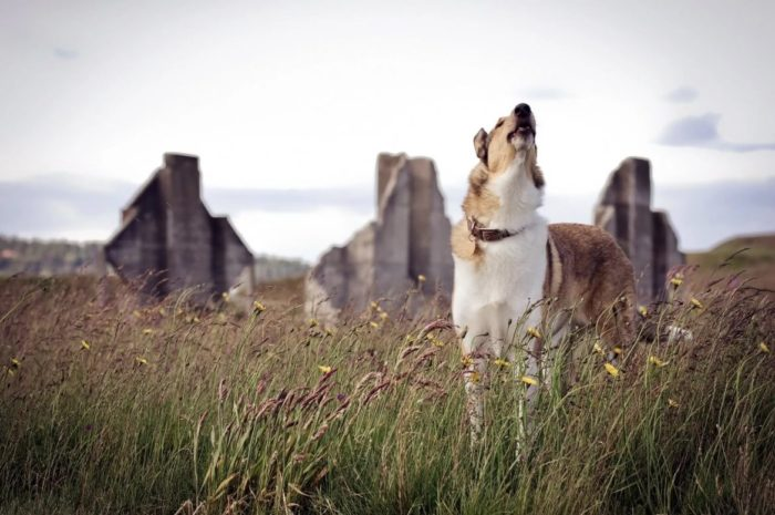 Пес воет на природе