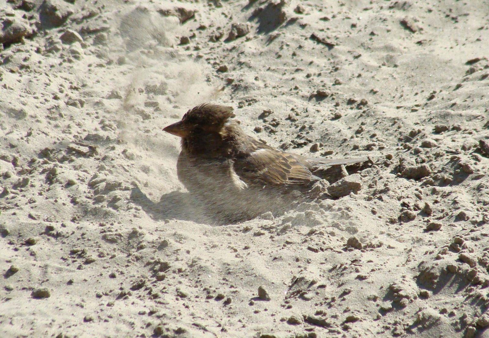 Воробьи купаются в пыли