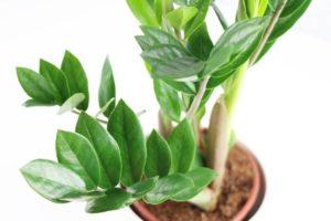 Другие названия растения и их значение