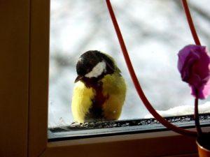 Синица стучится в окно