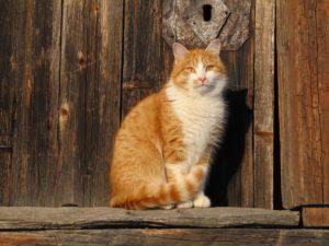 В дом пришла рыжая кошка