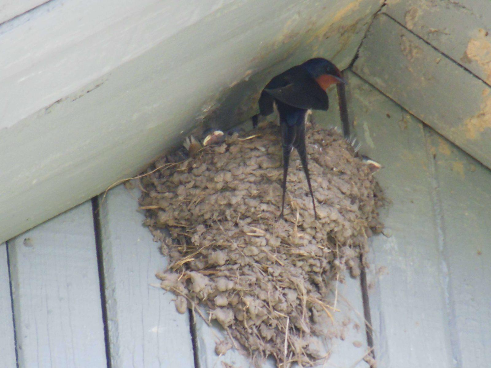 Ласточки вьют гнезда под нашей крышей