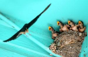Ласточка свила гнездо возле дома