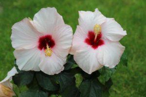 Белая китайская роза