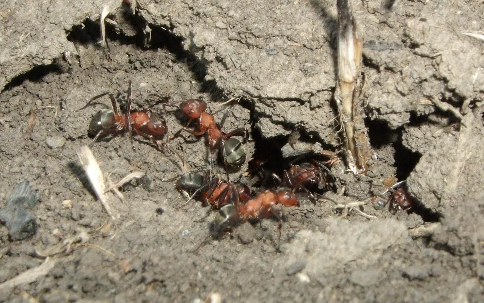 Приметы и суеверия о муравьях