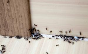 Почему муравьи приходят к человеку