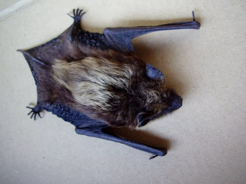 Летучая мышь залетела в квартиру