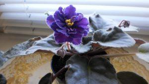 Цветение фиолетового цветка