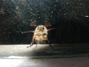 Майский жук за окном