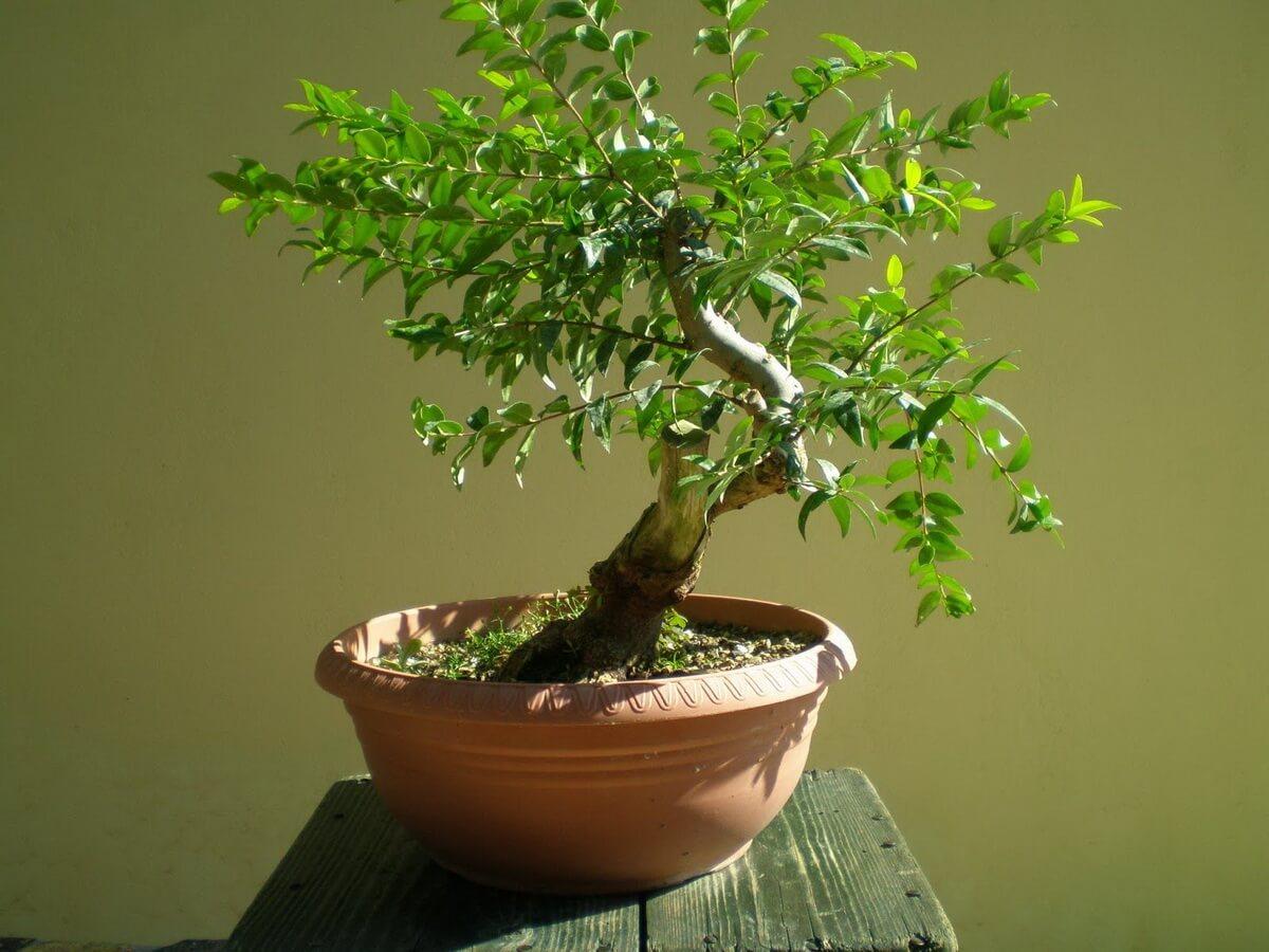 Фото комнатного растения мирт