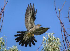Приметы, связанные с кукующей птицей
