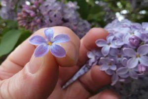 Примета о цветке сирени с пятью лепестками