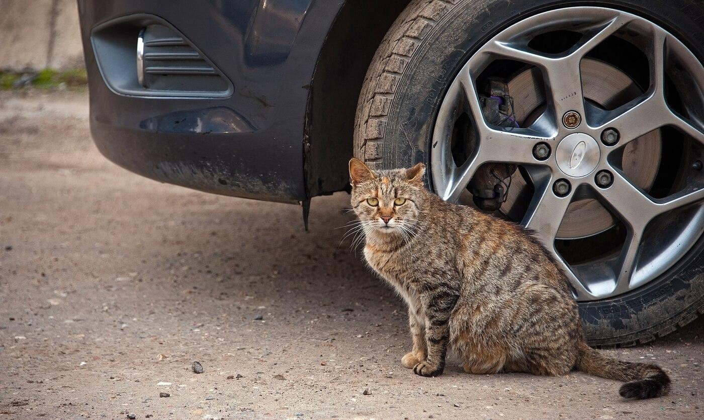 Что будет, если человек сбил кошку на машине