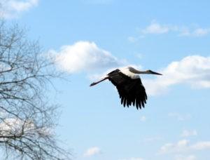 Аист, летящий в небе