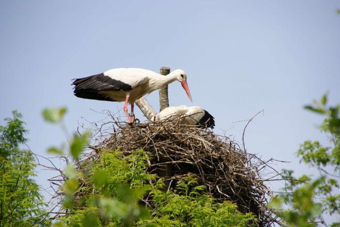 Гнездо аиста во дворе