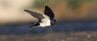 Ласточки летают низко