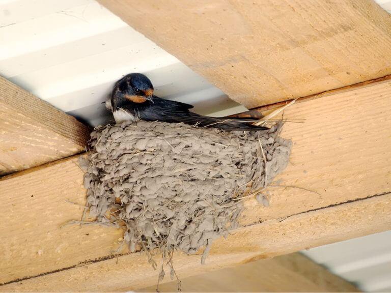 Гнездо ласточек в доме