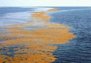 Водоросли Саргассового моря
