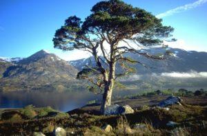Шотландская сосна